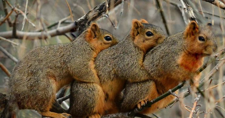 PAY-Three-cute-squirrels-CUDDLING