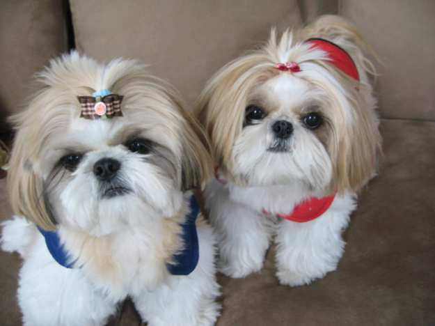Shih-Tzu-Small-Dog-Breeds-That-Dont-Shed-10