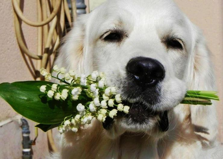 dog-holding-flowers-beautiful-pictures-33214692-960-687