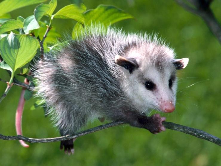 Opossum Photo.jpg