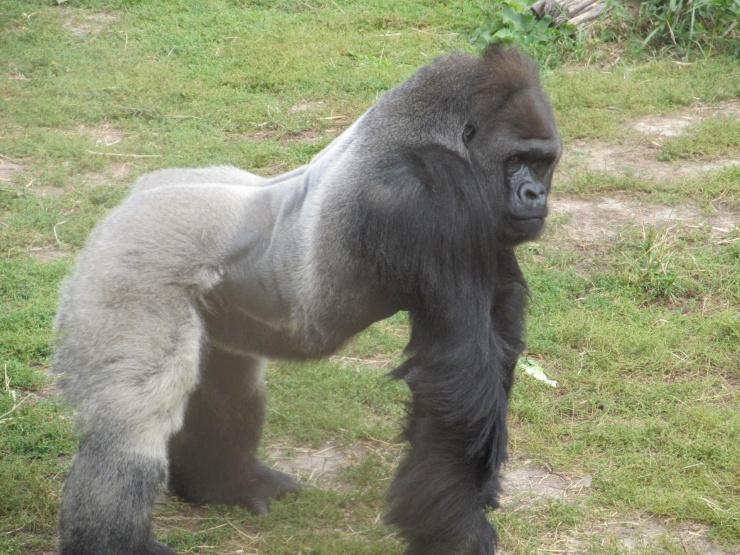 silverback-gorilla-posing.jpg