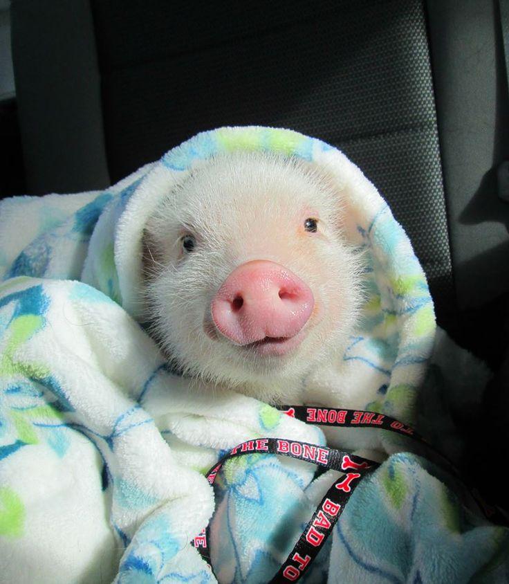 70d8ebcf4b63abcdf4db8c3b860fdf5c--cute-baby-pigs-cute-babies